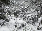 Arbres nevats